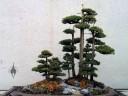Juniperus chinensis 'Femina', Chinese Juniper penjing display, National Bonsai and Penjing Museum, US National Arboretum, Washington DC
