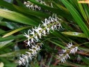Labeled as Dendrochilum uncatum, orchid species flowers, Botanical Garden of the University of Zurich, Switzerland