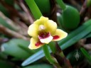 Maxillaria variabilis, orchid species flower, Botanical Garden of the University of Zurich, Switzerland