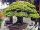 Pinus parviflora 'Miyajima', Japanese White Pine, bonsai in training since 1625, bonsai and its owner survived the atomic bombing of Hiroshima in 1945