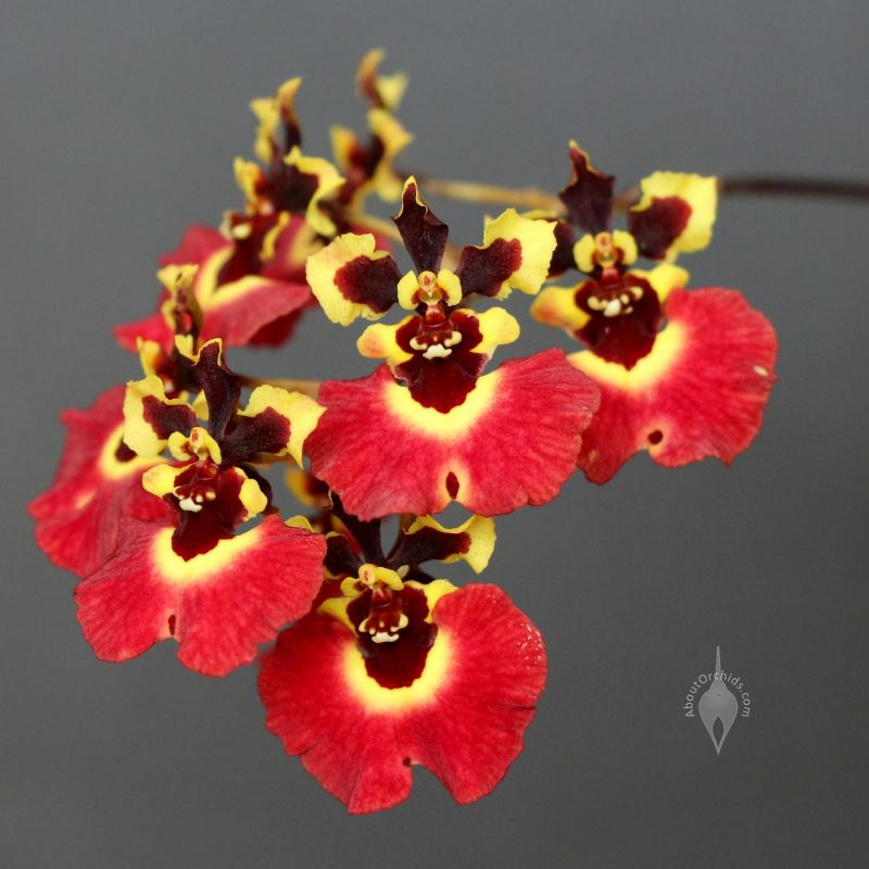 orchids that look like dancing
