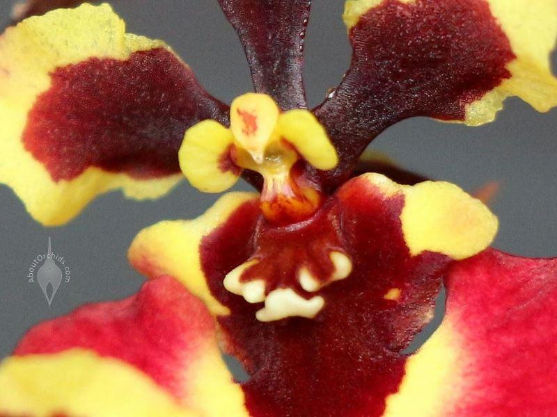Miniature Tolumnia Genting Volcano Orchid Hybrid Flowers Equitant Oncidium Dancing Lady