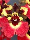 Tolumnia Genting Volcano, orchid hybrid flower, Equitant Oncidium, Dancing Lady Orchid, miniature orchid, grown indoors in Pacifica, California