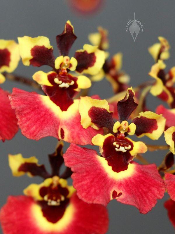 Rhyncholaeliocattleya Donna Kimura 39 Paradise Tami Eatbreathegarden