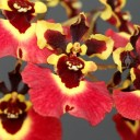Tolumnia Genting Volcano, orchid hybrid flowers, Equitant Oncidium, Dancing Lady Orchid, miniature orchid, grown indoors in Pacifica, California