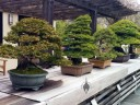 Row of bonsai trees on display, National Bonsai and Penjing Museum, US National Arboretum, Washington DC