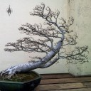 Ulmus parvifolia, Chinese Elm, windswept style bonsai, National Bonsai and Penjing Museum, US National Arboretum, Washington DC