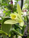 Vanilla planifolia, orchid species flower, Botanical Garden of the University of Zurich, Switzerland