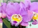 Cattleya hybrid flower, Pacific Orchid Expo 2014, San Francisco, California