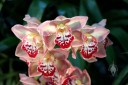 Cymbidium hybrid flowers, Pacific Orchid Expo 2015, San Francisco, California