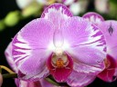 Moth Orchid, Phalaenopsis hybrid, Phal flower, Pacific Orchid Expo 2016, San Francisco, California