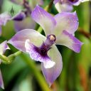 Zygonisia, orchid hybrid, purple and white flower, Orchids in the Park 2012, San Francisco, California