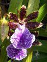 Zygopetalum BG White 'Stonehurst', orchid hybrid, purple green white and maroon flower, grown outdoors in San Francisco, California
