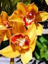 Cymbidium hybrid flowers, grown outdoors in Pacifica, California