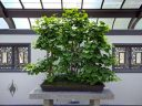 Ginkgo biloba bonsai, Montreal Botanical Garden, Canada