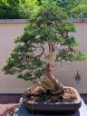 Juniperus chinensis var. sargentii, Sargent Juniper bonsai, 275 year old bonsai at the Montreal Botanical Garden, Canada