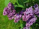 Lilac in bloom at the Montreal Botanical Garden, Canada