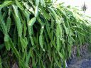 Orchid Cactus, Epiphyllum, large plant growing over a wall on the Big Island of Hawaii