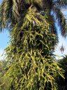 Orchid Cactus, enormous Epiphyllum growing up palm trunk, Naalehu, Big Island, Hawaii