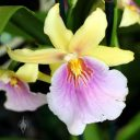 Miltonia Yellow Passion, orchid hybrid flower, Orchids in the Park 2016, Golden Gate Park, San Francisco, California