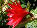 Side view of red Orchid Cactus flower, Epiphyllum, grown outdoors in San Francisco, California