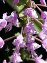 Stenoglottis longifolia, orchid species flowers, grown indoors in San Francisco