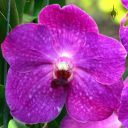 Vanda flower, Orchids in the Park 2014, San Francisco, California