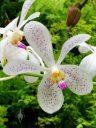 Aranda Jairak White, Vanda orchid hybrid, Orchids in the Park 2016, Golden Gate Park, San Francisco, California