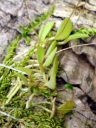 Platystele jungermannioides, miniature orchid species plant mounted on cork, leaves and roots growing with moss, Pleurothallid, one of the tiniest orchid flowers, Orchids in the Park 2016, San Francisco, California
