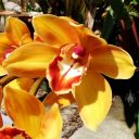 Cymbidium flower, orchid hybrid, grown outdoors in Pacifica, California