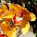 Cymbidium flower, orchid hybrid, grown outdoors in Pacifica, California