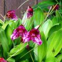 Masdevallia chaparensis flowers, orchid species, grown outdoors in Pacifica, California