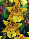 Orchid flowers, Oncidium hybrid, Orchids in the Park 2016, San Francisco, California