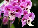 Phalaenopsis flowers, Moth Orchid hybrid, Pacific Orchid Expo 2015, San Francisco, California