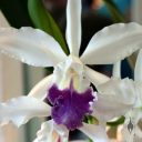 Labeled as Cattleya schilleriana, orchid species, Pacific Orchid Expo 2015, San Francisco, California