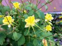 Yellow Columbine flowers in Telluride, Colorado