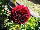 Dahlia flower in a garden in Dolores, Colorado