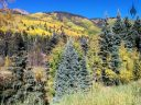 View of mountains and fall foliage near Rico, Colorado, yellow aspen trees and conifers, blue spruce, pine trees, and mountain, Rocky Mountains, Western Slope