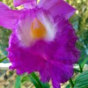 Sobralia macrantha, orchid species, close up of lip of large purple flower, grown indoors in Pacifica, California
