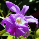 Sobralia macrantha, orchid species, large purple flower, grown outdoors in San Francisco, California