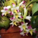 Coelia bella, orchid species flowers, grown outdoors in Pacifica, California