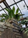 Orchid growing attached to bricks, lithophyte, Montreal Botanical Garden, Montreal, Canada