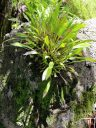 Orchid growing attached to large rock, lithophyte, Foster Botanical Garden, Honolulu, Hawaii