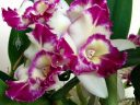 Laeliocattleya Nice Holiday 'Suntopia' HCC/AOS, Cattleya orchid hybrid, purple white and yellow flowers with fringed lip, grown indoors in Pacifica, California