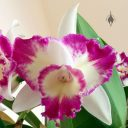 Laeliocattleya Nice Holiday 'Suntopia' HCC/AOS, Cattleya orchid hybrid, purple white and yellow flower with fringed lip, grown indoors in Pacifica, California