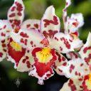 Oncidium hybrid flowers, Pacific Orchid Expo 2016, San Francisco, California