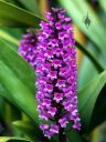 Arpophyllum giganteum, Hyacinth Orchid, orchid species with purple flowers, grown outdoors in Pacifica, California