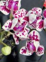 Phalaenopsis hybrid, Moth Orchid, peloric flowers, Pacific Orchid Expo 2014, San Francisco, California