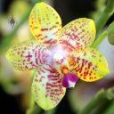 Phalaenopsis Orchid World 'Bonnie Vasquez' AM/AOS, Moth Orchid hybrid, Pacific Orchid Expo 2016, San Francisco, California