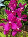 Vanda orchid flowers, McBryde Garden, Koloa, Kauai, Hawaii, National Tropical Botanical Garden